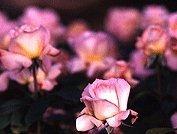rose_photo05.jpg